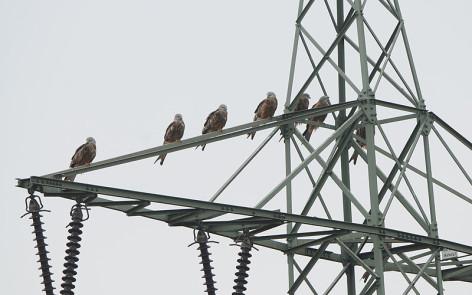 Ein rastender Trupp Rotmiane auf einem Strommast. Steigen Morgens die Temperaturen und Nebel verschwindet, ziehen die Vögel weiter Richtung Südwest. Foto: C. Gelpke
