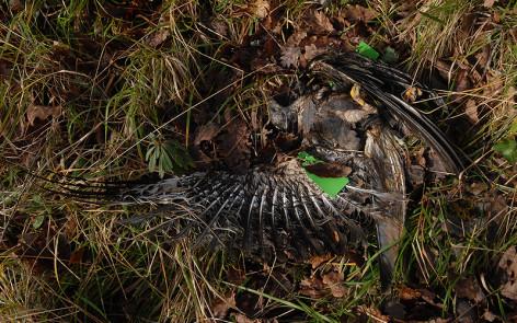 """Rotmilan """"Lukas"""", ein Vogel aus dem Projekt in 2007, er wurde auf dem Zugweg in Frankreich zusammen mit anderen Greifvögel vergiftet. Foto: C. Gelpke"""