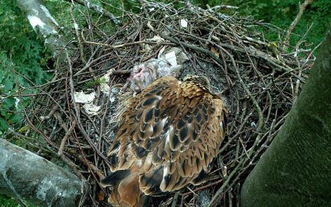 Ein junges im Horst kann den Bestand nicht aufrecht erhalten. Foto: S. Thorn
