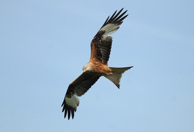 Segelnder Rotmilan. Deutlich sind die hellen Partien im Flügel, sowie der gegebalte Stoß zu erkennen.