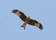 Jungvogel Foto: C. Gelpke